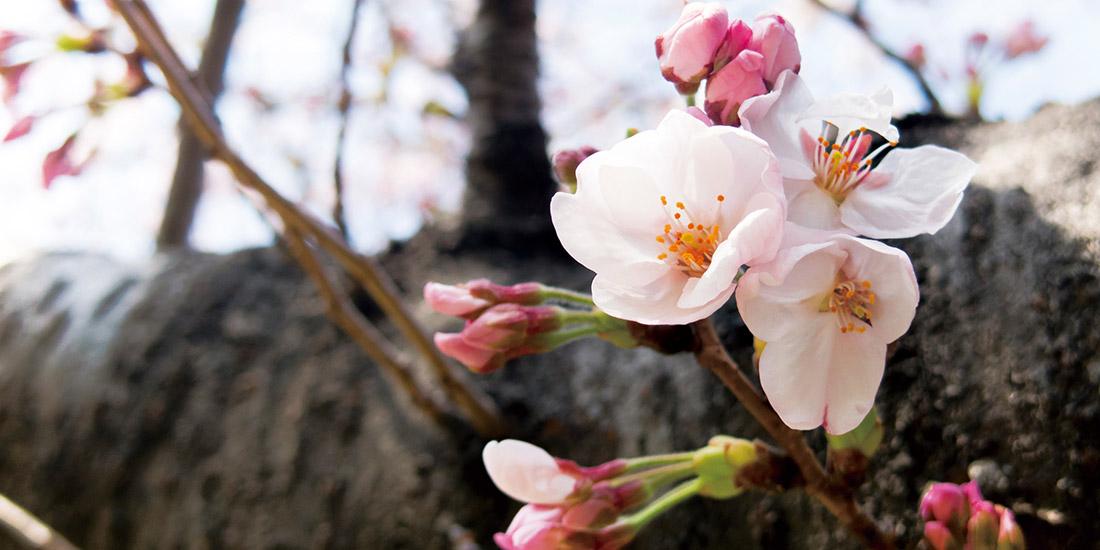 月替わり湯 4月の暦風呂「桜湯」