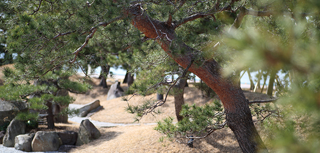 松の隙間から覗く日本庭園風景