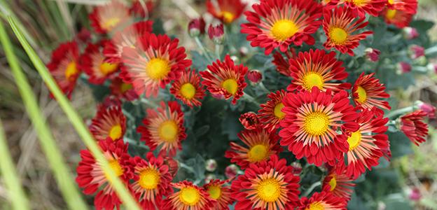 日本庭園に咲く赤色の菊