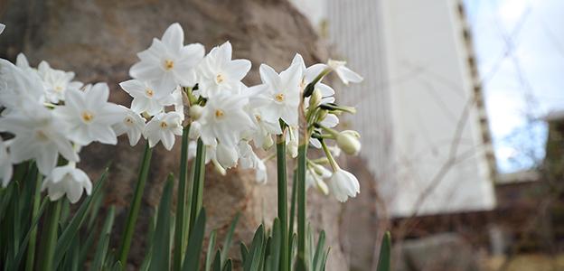 日本庭園に咲くスイセン