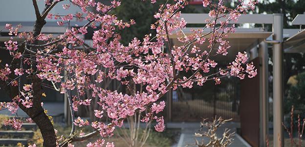 日本庭園に咲くカワヅサクラ