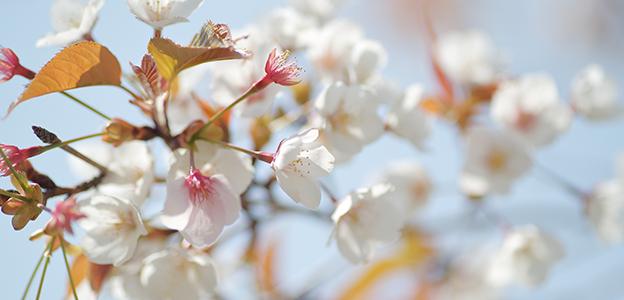 日本庭園に咲くサクラ